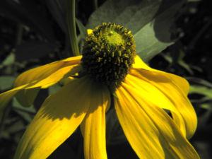 Hoher Sonnenhut Bluete gelb Rudbeckia nitida 10