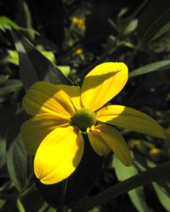 Hoher Sonnenhut Bluete gelb Rudbeckia nitida 11