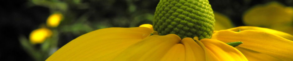 Anklicken um das ganze Bild zu sehen Hoher Sonnenhut Blüte gelb Rudbeckia nitida