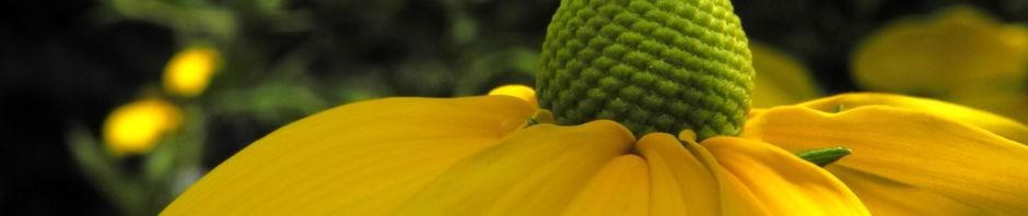 hoher-sonnenhut-bluete-gelb-rudbeckia-nitida
