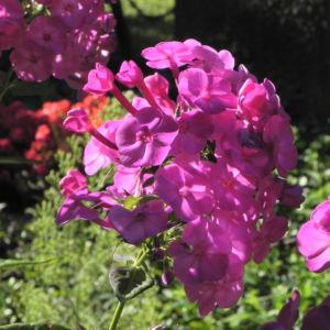 Bild: Hoher Stauden Phlox Bluete pink Phlox paniculata