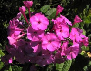 Hoher Stauden Phlox Bluete pink Phlox paniculata 15