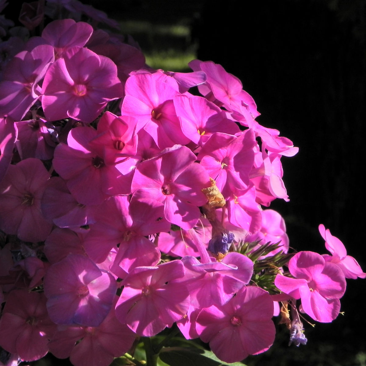 Hoher Stauden Phlox Bluete pink Phlox paniculata