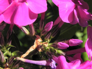 Hoher Stauden Phlox Bluete pink Phlox paniculata 17