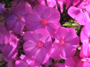 Hoher Stauden Phlox Bluete pink Phlox paniculata 18