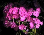 Hoher Stauden Phlox Bluete pink Phlox paniculata 19