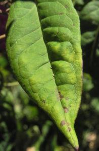 Hoher Stauden Phlox Bluete pink Phlox paniculata 20