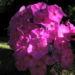 Zurück zum kompletten Bilderset Hoher Stauden-Phlox Blüte pink Phlox paniculata