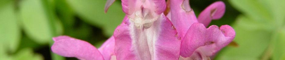 hohler-lerchensporn-bluete-pink-corydalis-cava