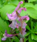 Hohler Lechensporn Bluete pink Corydalis cava 04