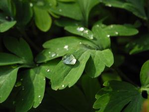 Hohler Lerchensporn Blattt gruen Corydalis cava 05