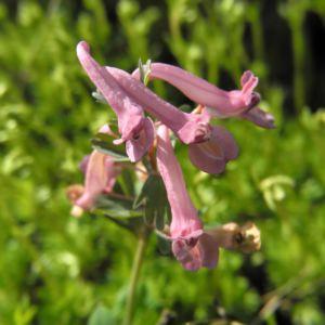 Hohler Lerchensporn Bluete pink Corydalis cava 01