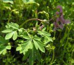 Hohler Lerchensporn Bluete pink Corydalis cava 02