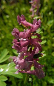 Hohler Lerchensporn Bluete pink Corydalis cava 09