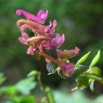 Hohler Lerchensporn Bluete pink Corydalis cava 11