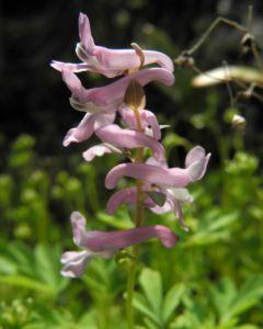 Hohler Lerchensporn Bluete pink Corydalis cava 12