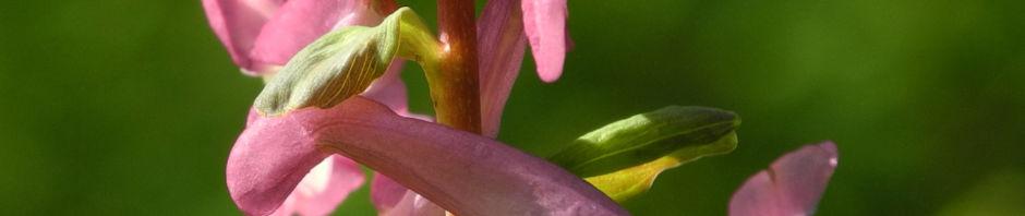 Anklicken um das ganze Bild zu sehen Hohler Lerchensporn Blüte pink Blatt grün Corydalis cava