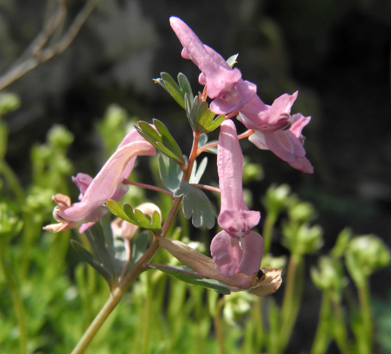 Zurück zum kompletten Bilderset Hohler Lerchensporn Blüte pink Corydalis cava