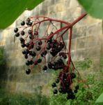 Holunder Sambucus nigra 02