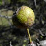 Holzapfel Frucht gruen Malus sylvestris 02