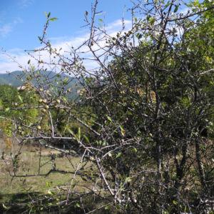 Holzapfel Frucht gruen Malus sylvestris 04