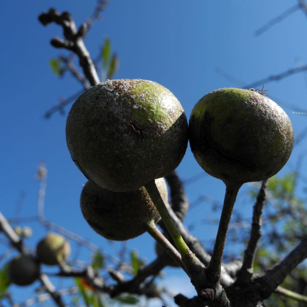 Holzapfel Frucht gruen Malus sylvestris