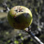 Holzapfel Frucht gruen Malus sylvestris 06