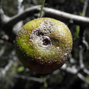 Holzapfel Frucht gruen Malus sylvestris 07