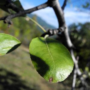 Holzapfel Frucht gruen Malus sylvestris 08