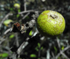 Holzapfel Frucht gruen Malus sylvestris 14