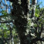 Bild: Holzapfel Frucht grün Malus sylvestris