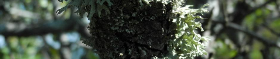 Anklicken um das ganze Bild zu sehen  Holzapfel Frucht grün Malus sylvestris