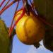 Zurück zum kompletten Bilderset Zierapfel Frucht gelb Malus hybride butterball