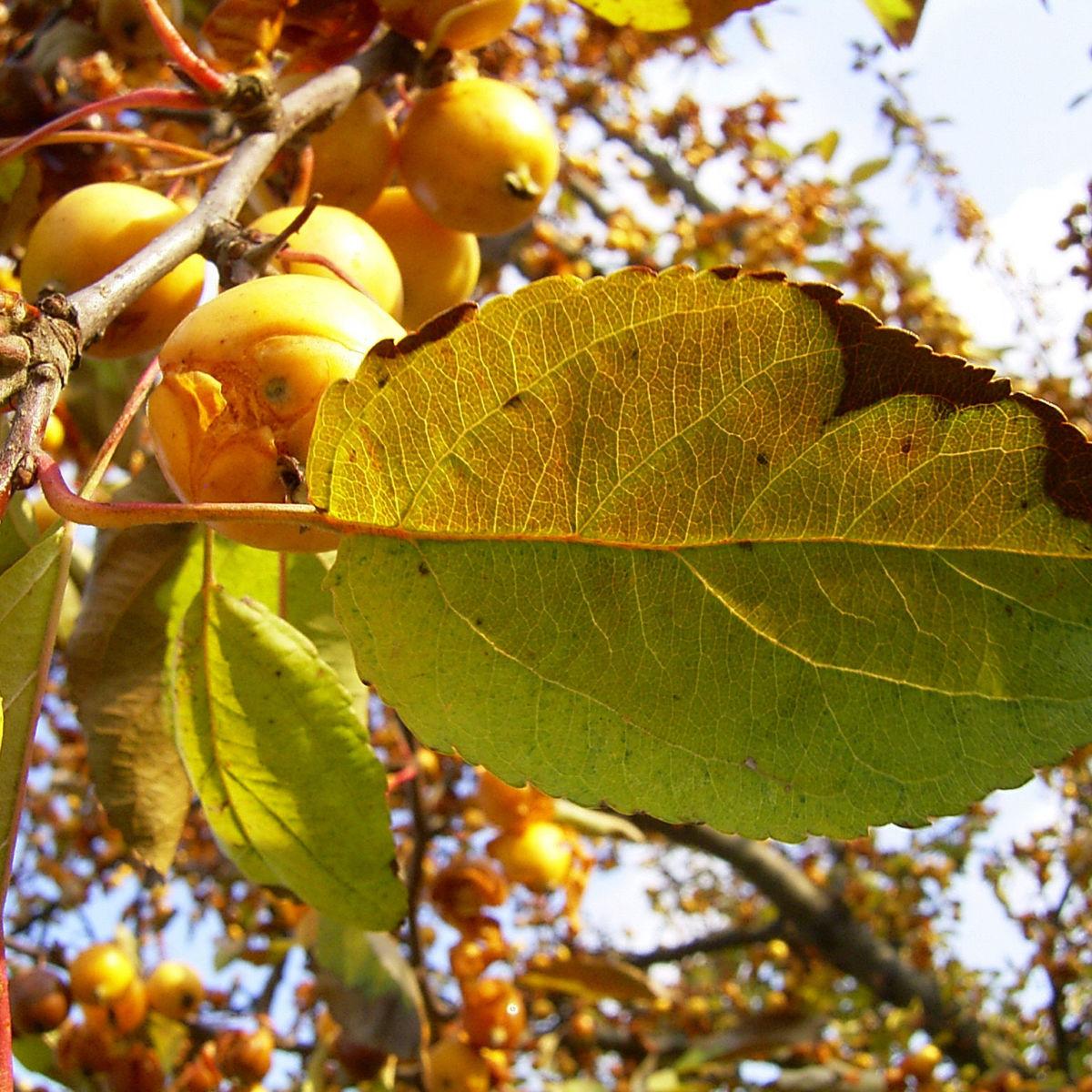 Holzapfel gelb orange Fruechte Malus Butterball