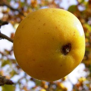 Holzapfel gelb orange Fruechte Malus Butterball 06