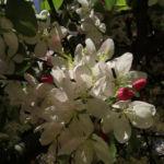 Holzapfel weiss rosa Bluete Malus sylvestris 01