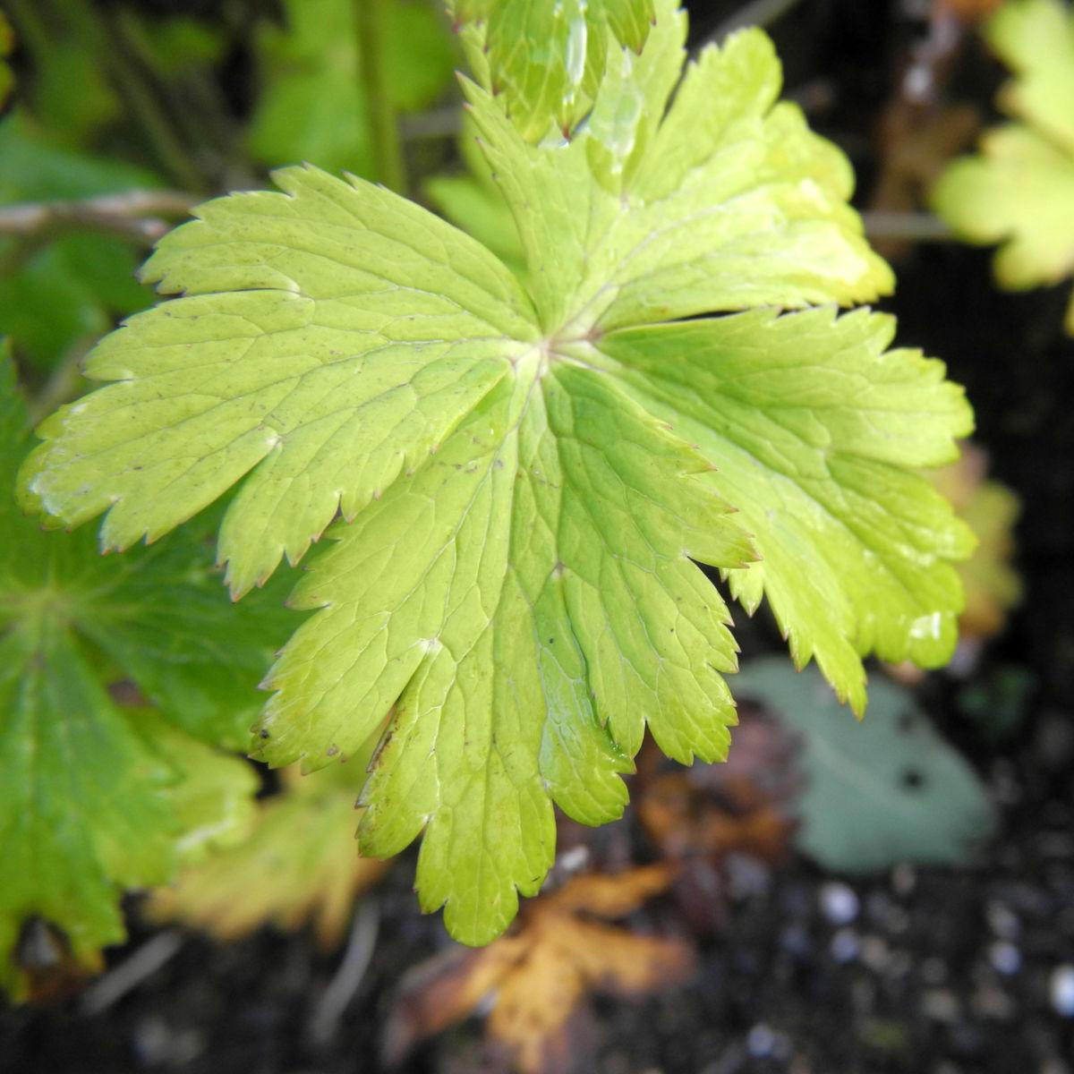 Hondo Trollblume Blatt gruen Trollius hondoensis