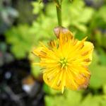 Hondo Trollblume Bluete gelb Trollius hondoensis 09