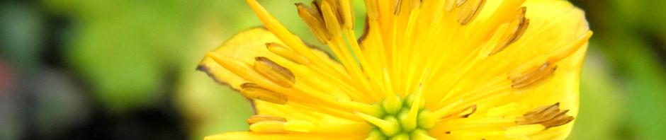 Anklicken um das ganze Bild zu sehen Hondo Trollblume Blüte gelb Trollius hondoensis