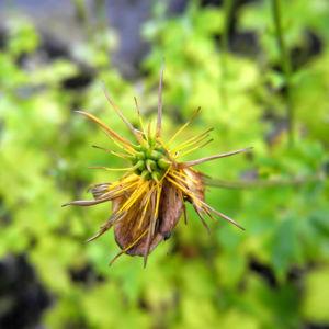 Hondo Trollblume Samenstand Trollius hondoensis 06