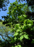 Honoki Magnolia Baum Blatt gruen Magnolia hypoleuca 57 33