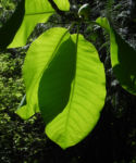 Honoki Magnolia Baum Blatt gruen Magnolia hypoleuca 57 34