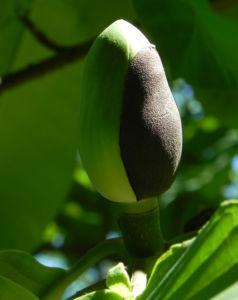 Honoki Magnolia Baum Bluete weiss Magnolia hypoleuca 57 36