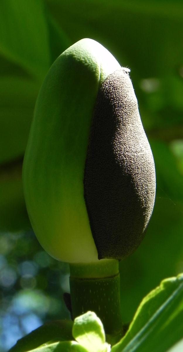 Honoki Magnolia Baum Bluete weiss Magnolia hypoleuca