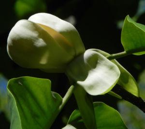 Honoki Magnolia Baum Bluete weiss Magnolia hypoleuca 57 42