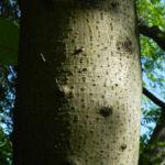 Bild: Honoki-Magnolie Blüte weiß Magnolia hypoleuca