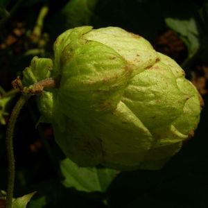 Hopfen Dolde Humulus lupulus 02