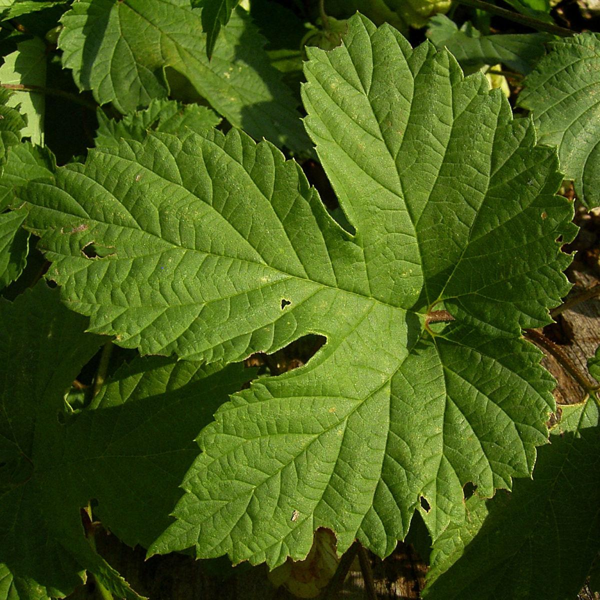 Hopfen Dolde Humulus lupulus