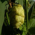 Hopfen Dolde Humulus lupulus 05