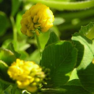 Bild: Hopfen Klee Gelbklee Bluete gelb Medicago lupulina